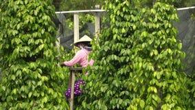 黑胡椒的种植园 黑胡椒在地面上增长 黑胡椒的种植园在亚洲 更多种植园  股票视频