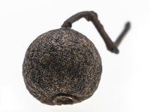 黑胡椒种子  库存图片