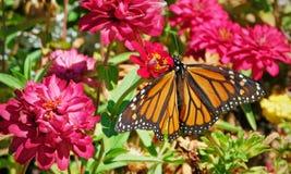 黑脉金斑蝶在庭院里 库存照片