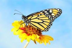 黑脉金斑蝶在黄色花的丹尼亚斯plexippus 库存图片