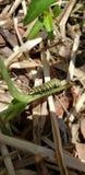 黑脉金斑蝶的毛虫 库存图片