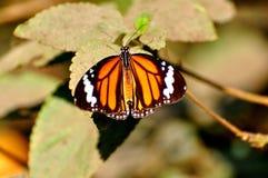 黑脉金斑蝶 库存图片