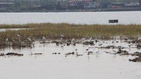 黑脖子高跷和白鹭筑巢地在Bai钳子渔村中国北部 免版税库存照片
