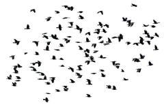 黑色乌鸦在白色的飞翼传播群隔绝了ba 库存照片