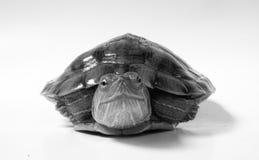 黑色乌龟白色 库存照片