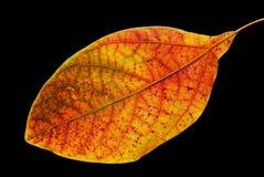 黑色五颜六色的叶子 免版税图库摄影