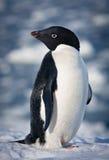 黑色企鹅白色 库存照片