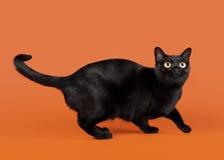 黑色传统孟买猫 库存照片