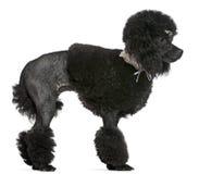 黑色修饰的长卷毛狗身分 库存照片