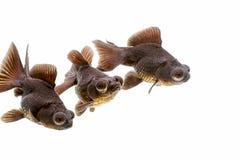 黑色停泊金鱼望远镜目的金鱼 免版税库存照片
