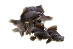黑色停泊金鱼望远镜目的金鱼 库存照片