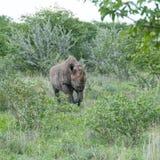 黑色充电的纳米比亚犀牛 免版税库存照片