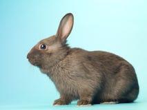 黑色兔子的侧视图 图库摄影