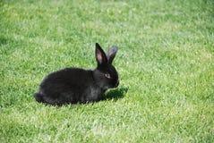 黑色兔子 免版税图库摄影