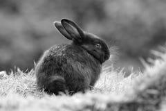 黑色兔子 免版税库存照片