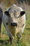 黑色公牛白色 库存图片