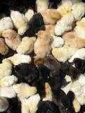黑色刚孵出的雏白色 库存图片