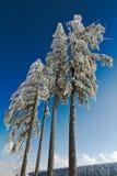 黑色加盖的冷杉森林四雪结构树 免版税库存照片