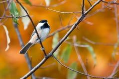 黑色加盖的山雀在秋天 免版税库存图片