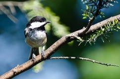 黑色加盖的山雀在结构树栖息 库存照片