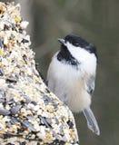 黑色加盖的山雀或Poecile Atricapillus 免版税库存照片