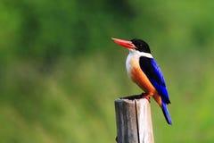 黑色加盖的翠鸟 免版税库存照片
