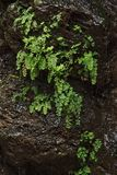 黑色包括湿绿色植物的岩石 免版税库存图片