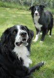 黑色博德牧羊犬尾随二白色 免版税库存图片