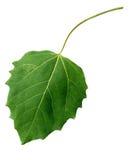 黑色叶子白杨树 库存照片