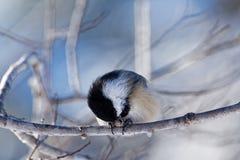 黑色吃种子的加盖的山雀 免版税库存照片