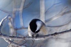 黑色吃种子的加盖的山雀 库存图片