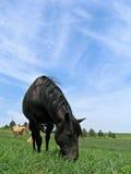 黑色吃草的母马 库存图片