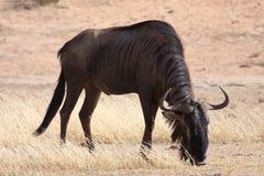 黑色吃草的角马 库存图片