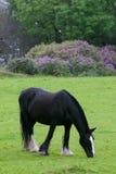 黑色吃草的马 免版税库存照片