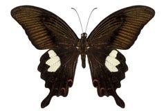 黑色和棕色蝴蝶种类Papilio nephelus 免版税图库摄影