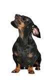 黑色和棕褐色的达克斯猎犬 免版税库存照片