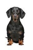 黑色和棕褐色的达克斯猎犬 库存图片