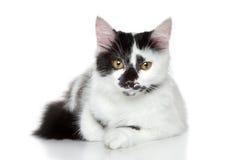 黑色品种猫混合的被察觉的白色 库存图片