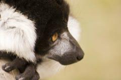 黑色囚禁狐猴ruffed白色 库存照片