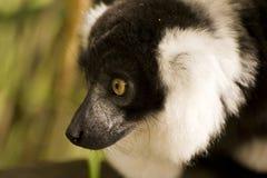黑色囚禁狐猴ruffed白色 库存图片