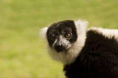 黑色囚禁狐猴ruffed白色 免版税图库摄影