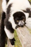 黑色囚禁狐猴ruffed白色 免版税库存照片
