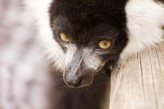 黑色囚禁狐猴ruffed白色 免版税库存图片