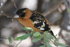 黑色在亚利桑那地面蛇沙漠博物馆朝向蜡嘴鸟 库存图片