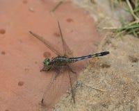 黑色在砖的被打翻的地面漏杓蜻蜓 免版税库存照片