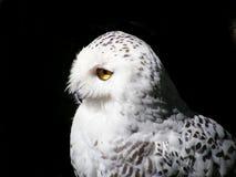黑色多雪查出的猫头鹰的纵向 库存图片