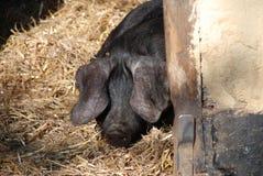 黑色大猪 免版税库存照片