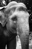 黑色大象白色 免版税库存图片