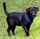 黑色实验室小狗 免版税库存照片