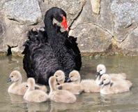 黑色小天鹅天鹅 免版税库存图片